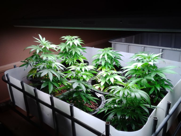 growers can breed Cannabis plants