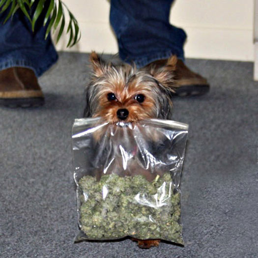 yorkie dog with marijuana