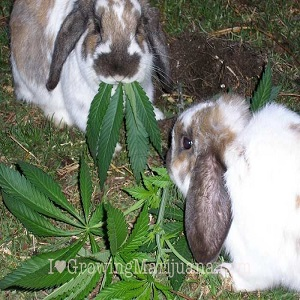 pests rodents mammals marijuana plants