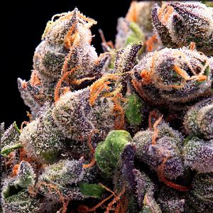 qrazy train marijuana strain subcool tga genetics pic