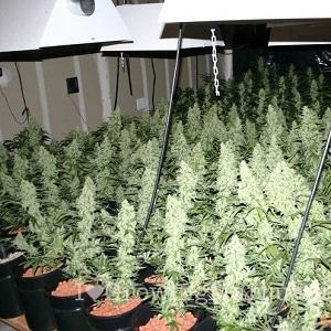 sea of green marijuana growing